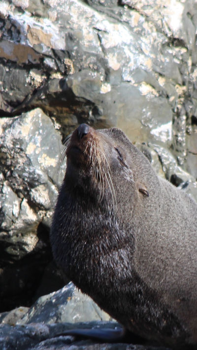Fur Seal (New Zealand) by conwaysuccess