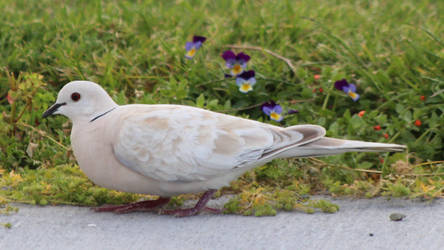 Barbary Dove (New Zealand) by conwaysuccess