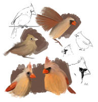 Cardinal Sketches by Chicken008