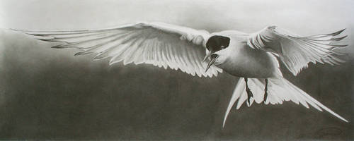 Arctic tern by RTyson