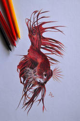 Siamese fighting fish by 22Zitty22