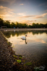 Lonely Swan by lf