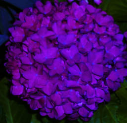 purple pompom by rinners