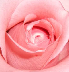 another rose by rinners