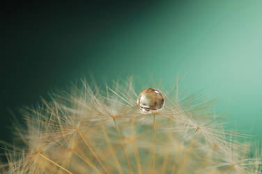 Dandelion #8 by Thund3r666