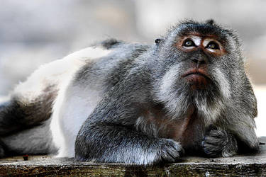 Monkey I by momoclax