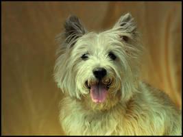 Cairn Terrier by irishtequilla