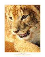 Lion Cub by jpgreeff