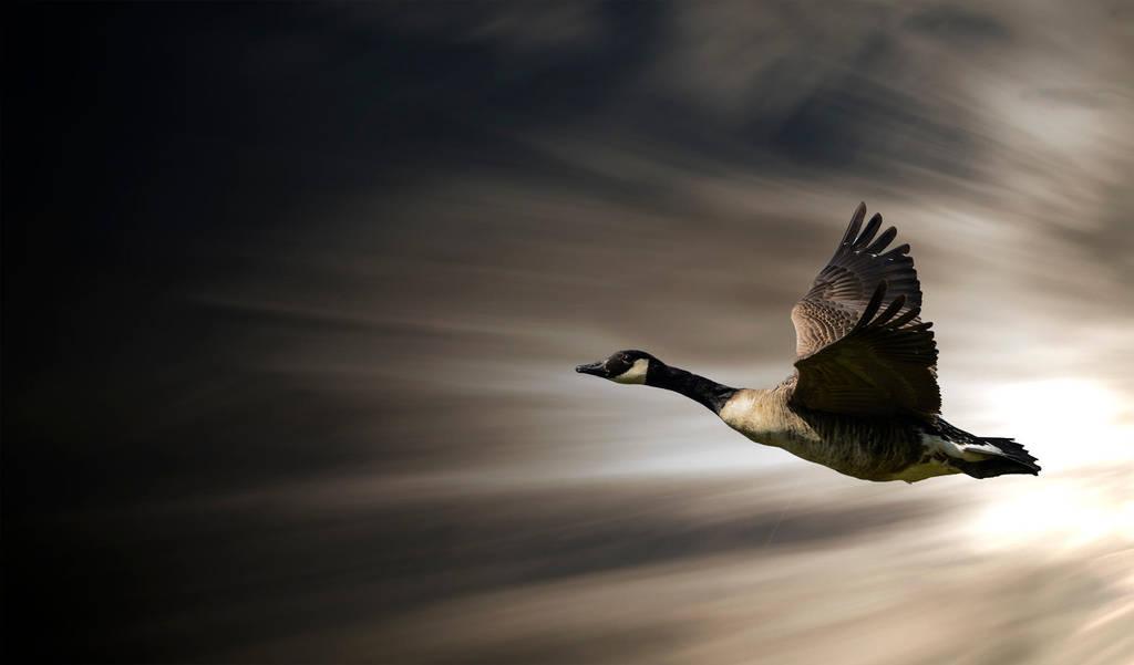 Goose in Flight by adamstephensonscfc