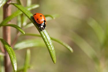 Ladybird on Rosemary by Tuinhek