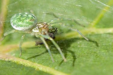 Green spider by Tuinhek