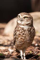 Burrowing owl by Tuinhek