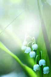 lily of the Valley by AnastasiaKot