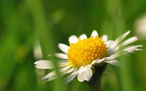 Miss Daisy by VBmonkey26
