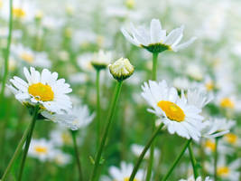 Field of Daisies by VBmonkey26