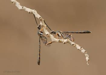 Wasps. by israelfi