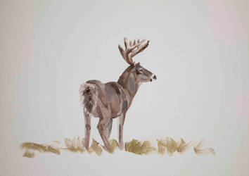 White tail deer study by Lara-Shychoski