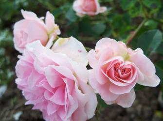 Blushing bloom by Ansie-Ans