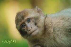 Baby Monkey by Joshy94