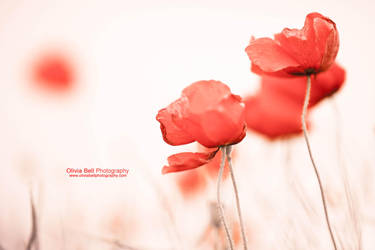 Poppies on Fire - Day 309 by escaped-emotions
