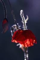 poppy and blue moon mood by Floriandra