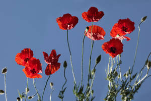 Poppies with impossible light by Floriandra