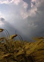 wheat by Floriandra