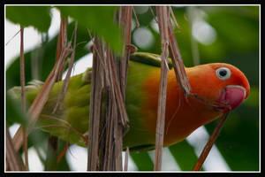 Lovebird by jimbomp44