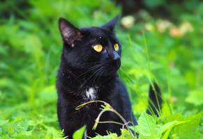 Neighbour cat by DariaZart