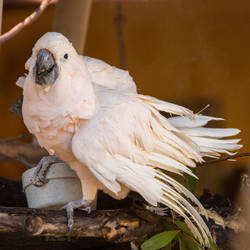 Max the Cockatoo at the San Diego Zoo Safari Park by KabakaLion