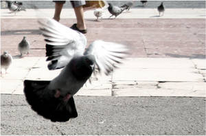 pigeon flying. I by steeerne