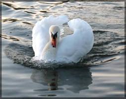 swan.:17 by steeerne