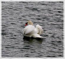 swan.:18 by steeerne