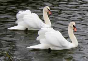 swan.:19 by steeerne