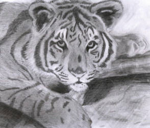 Another sketch of a Tiger. by Rycochet