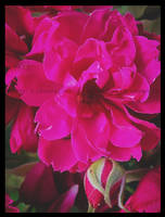 Roses by LeonoraChris