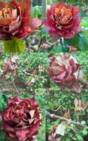 Autumn Rose 2 by LeonoraChris