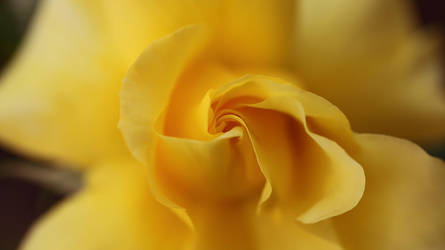 Yellow rose of Vegas by relhom