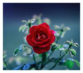 Backyard rose by relhom