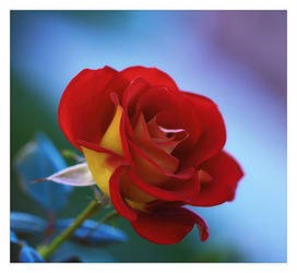 Corner rose by relhom