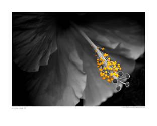Hibiscus II by scorpiodesign