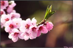 Peachtree flowering by Clu-art
