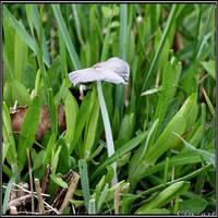 Spring Encounter: Coprinus plicatilis by Clu-art