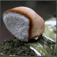 Winter Spotlight: Birch Polypore by Clu-art