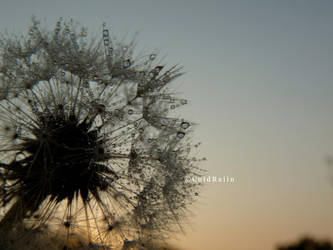 Dandelion 4 by ColdRaiin