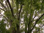 Maple tree by KatrinaFTW44