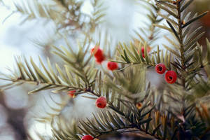 taxus by UniHydra