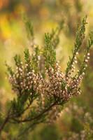 Autumn heather by syysmyrkkylilja