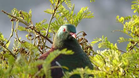 New Zealand pigeon/Kereru by Oscarr-334
