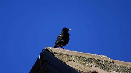 Common starling by Oscarr-334